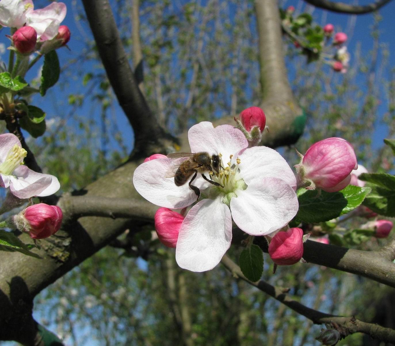 пчелы-весной1