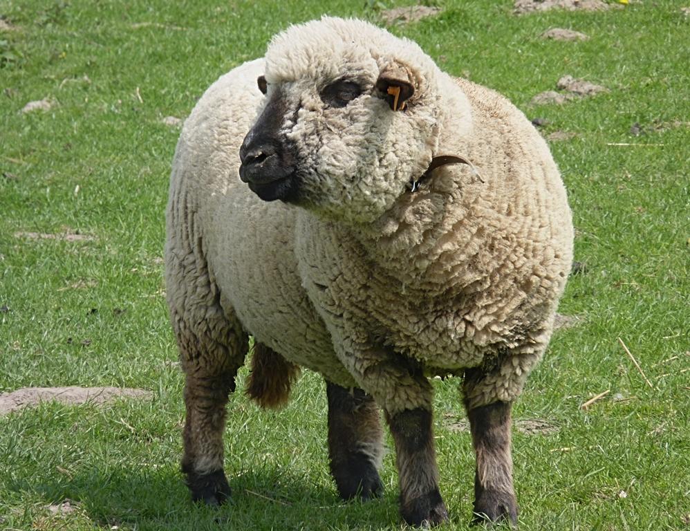Hampshire_Down_sheep_J6