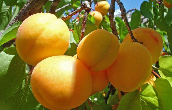 apricot_tsiran